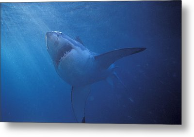 Great White Shark With Light Rays Metal Print by James Forte