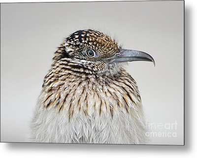 Greater Roadrunner Metal Print