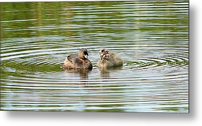 Grebes And Ripples Metal Print by Marv Vandehey
