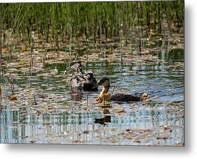 Grebe's On The Water Metal Print