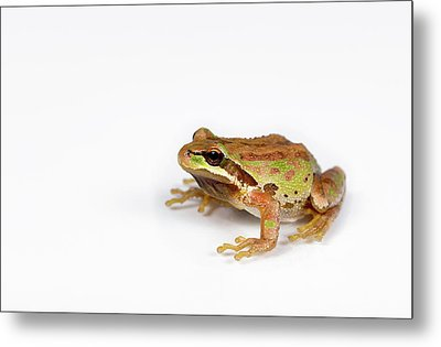 Green And Brown Frog On White Background Metal Print