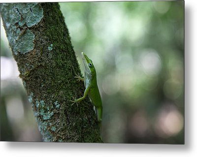 Green Anole Metal Print by Christopher L Thomley