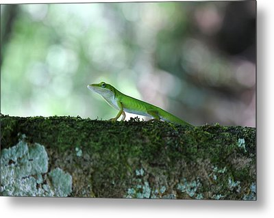 Green Anole Posing Metal Print by Christopher L Thomley