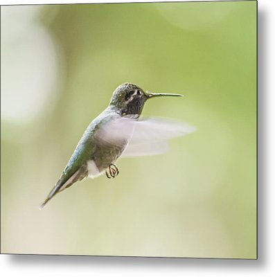 Hummingbird In Flight 2 Metal Print