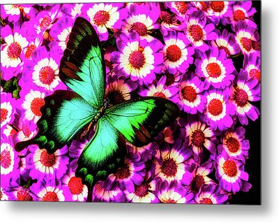 Green Butterfly On Pericallis Flowers Metal Print by Garry Gay