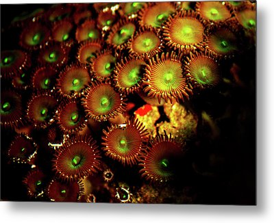 Metal Print featuring the photograph Green Button Polyps by Anthony Jones