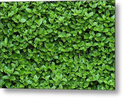 Green Hedge Metal Print by Frank Tschakert