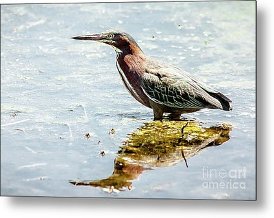 Metal Print featuring the photograph Green Heron Bright Day by Robert Frederick