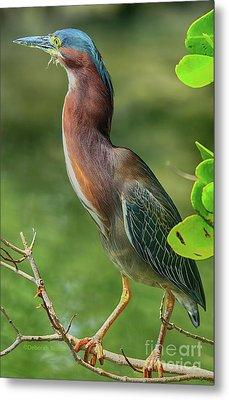 Metal Print featuring the photograph Green Heron Pose by Deborah Benoit