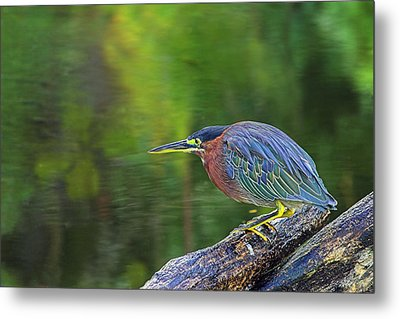 Metal Print featuring the photograph Green Heron- St Lucia by Chester Williams