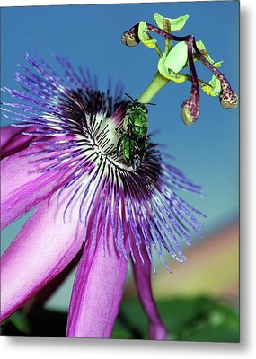 Green Hover Fly On Passion Flower Metal Print