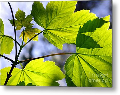 Green Leaves Metal Print by Carlos Caetano