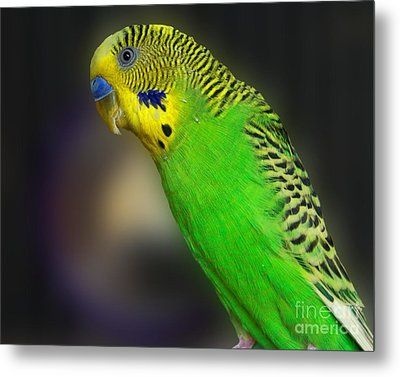 Green Parakeet Portrait Metal Print by Jai Johnson