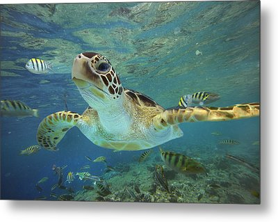 Green Sea Turtle Chelonia Mydas Metal Print by Tim Fitzharris
