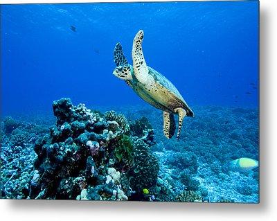 Green Sea Turtle Chelonia Mydas Metal Print by Tim Laman