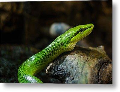 Green Snake Metal Print by Daniel Precht