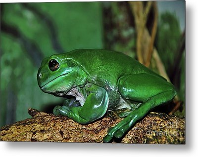 Green Tree Frog With A Smile Metal Print by Kaye Menner