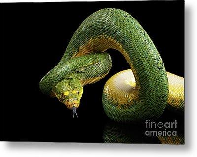 Green Tree Python. Morelia Viridis. Isolated Black Background Metal Print