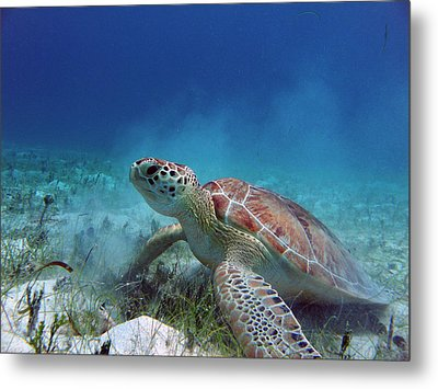 Green Turtle Metal Print by Kimberly Mohlenhoff
