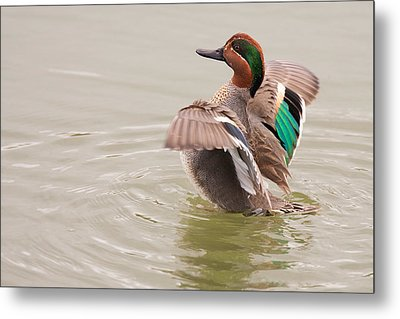 Metal Print featuring the photograph Green-winged Teal by Ram Vasudev