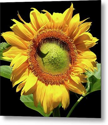 Greenburst Sunflower Metal Print by Rona Black
