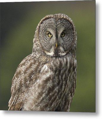 Great Gray Owl Portrait Metal Print by Doug Herr