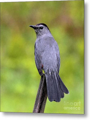 Metal Print featuring the photograph Grey Catbird by Debbie Stahre
