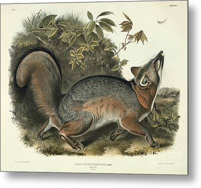 Grey Fox Metal Print by John James Audubon