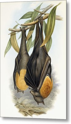 Grey Headed Flying Fox, Pteropus Poliocephalus Metal Print by John Gould