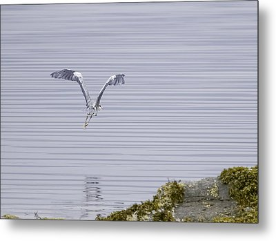 Grey Heron Flying Over A Loch On The Isle Of Mull Metal Print by Mr Bennett Kent