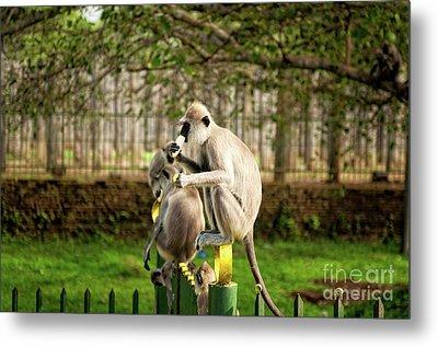Grey Langur Monkey At Anuradhapura  Metal Print by Venura Herath