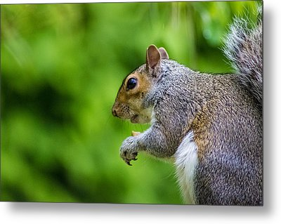 Grey Squirrel Metal Print by Martin Newman
