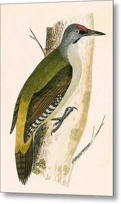 Grey Woodpecker Metal Print