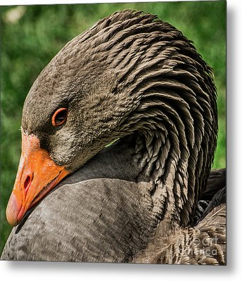 Greylag Goose Portrait  Metal Print by Gary Whitton