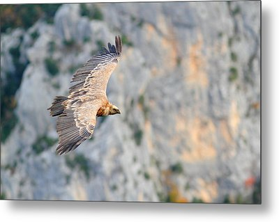Griffon Vulture Metal Print by Richard Patmore
