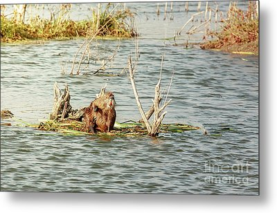 Metal Print featuring the photograph Grinning Nutria On Reeds by Robert Frederick