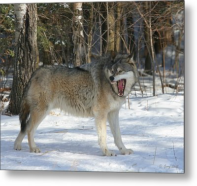 Grizzer Talking Trash Metal Print by Gerry Sibell