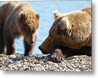 Grizzly And Cub Metal Print by Brandon Broderick