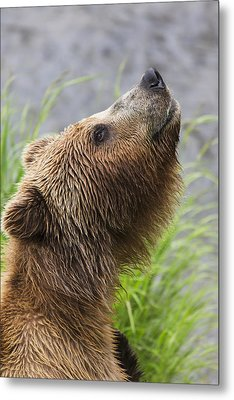 Grizzly Bear Sniffing Air While Fishing Metal Print
