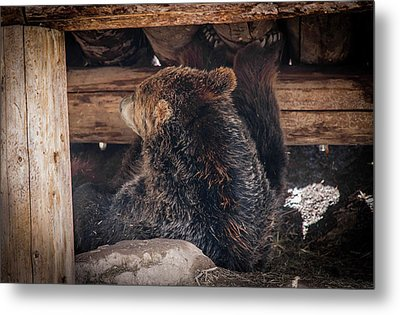 Grizzly Bear Under The Cabin Metal Print by Dan Pearce