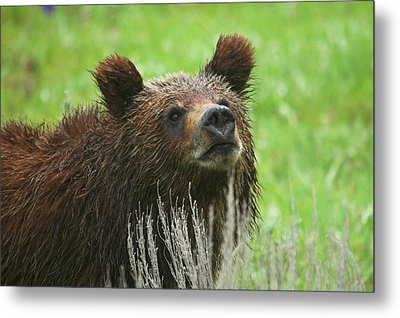 Metal Print featuring the photograph Grizzly Cub by Steve Stuller