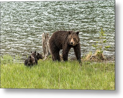 Metal Print featuring the photograph Grizzly Mom And Cubs by Yeates Photography