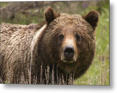 Grizzly Portrait Metal Print by Steve Stuller