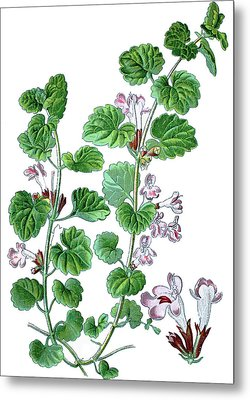 Ground-ivy, Gill-over-the-ground, Reeping Charlie, Alehoof, Tunh Metal Print