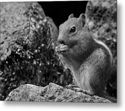 Ground Squirrel  Metal Print by Christina Lihani