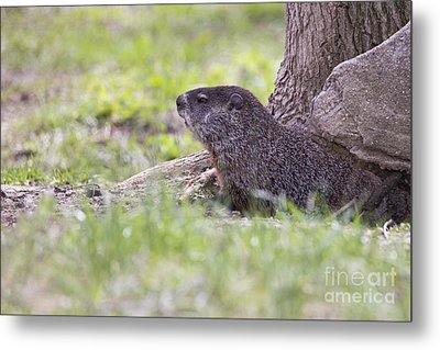 Groundhog Metal Print by Twenty Two North Photography
