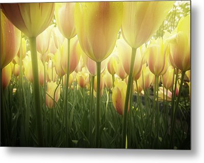 Growing  Tulips  Metal Print by Anastasy Yarmolovich