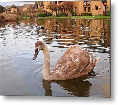 Growing Up On The River - Juvenile Mute Swan Metal Print