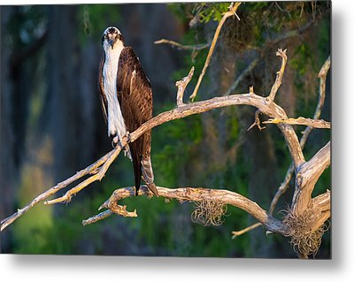 Grumpy Osprey Not Ready For Its Picture Metal Print