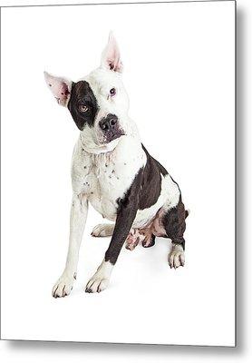 Guard Dog Pit Bull Over White Metal Print by Susan Schmitz